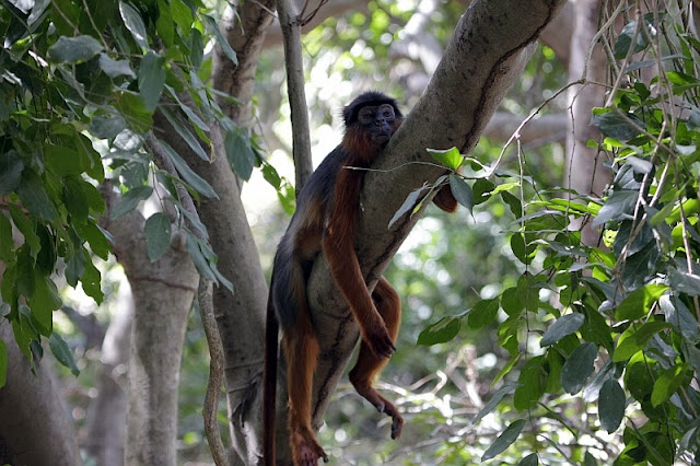 western red colobus Bijilo