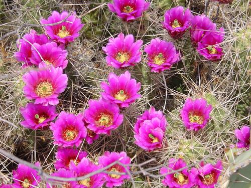 http://1.bp.blogspot.com/-wKfkLoQKcW0/Tza_Zt6BvEI/AAAAAAAApNM/USV4BajSozE/s640/Cactus_Flowers.jpg