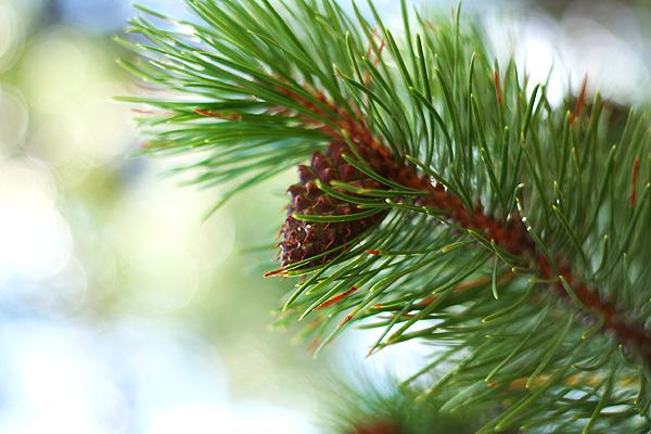 Pine Cones Grand Teton