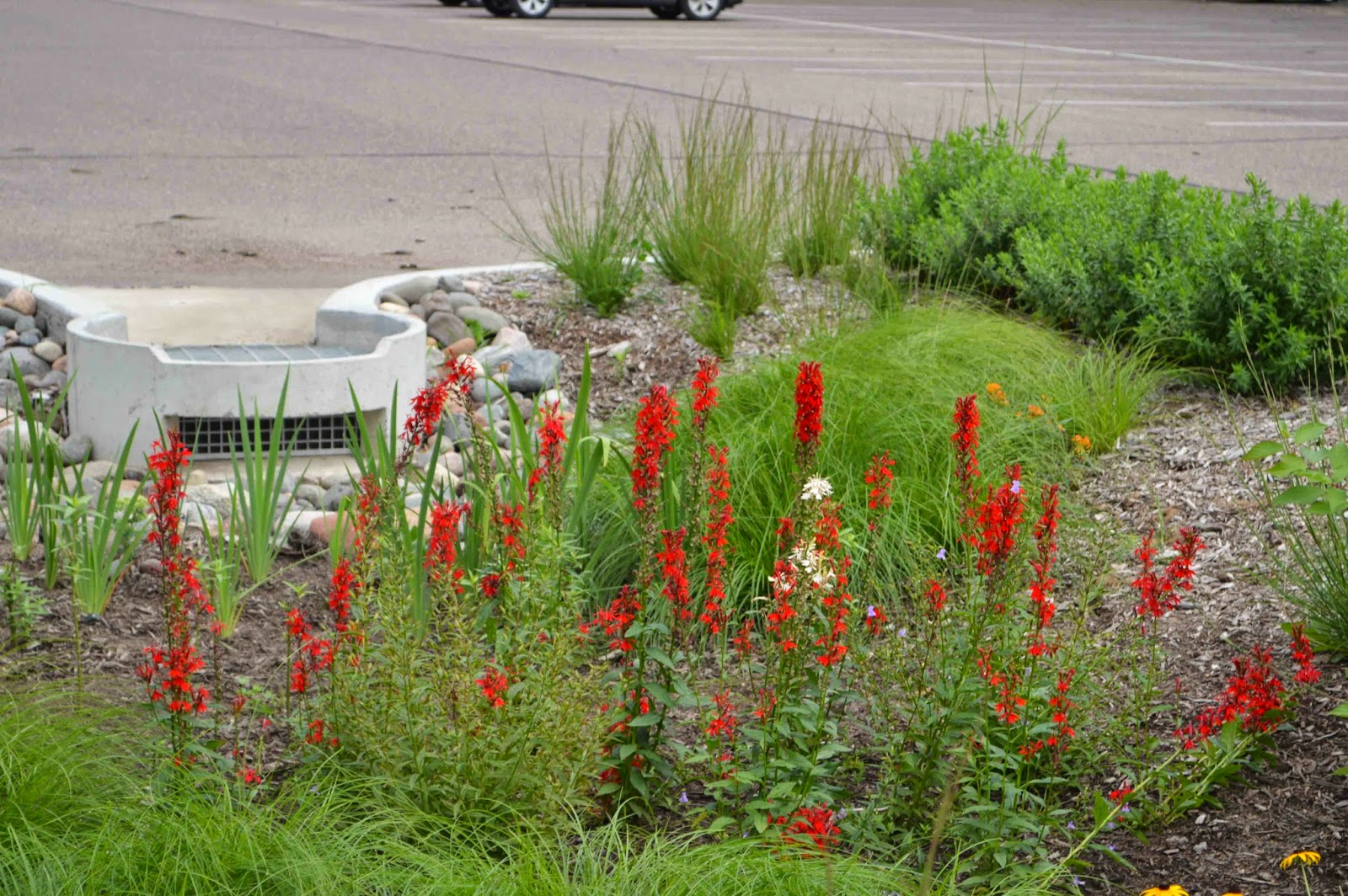 Cardinal Flower Nectar For Hummingbirds Or A Tonic For Lovers