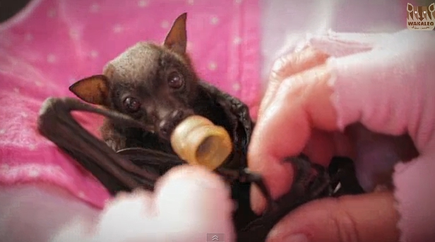 Ruby, Orphaned Flying Fox Baby May Be the Cutest Thing You See Today (VIDEO)