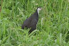 White-breasted waterhen_2011