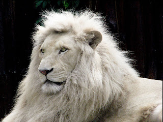 White Lion Wallpaper 2012