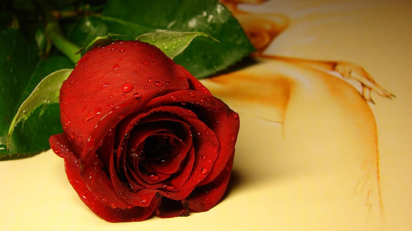 Lovely Red Rose Desktop HD Wallpaper