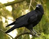 Belajar dari Kisah Seekor Burung Gagak dan Seorang Anak