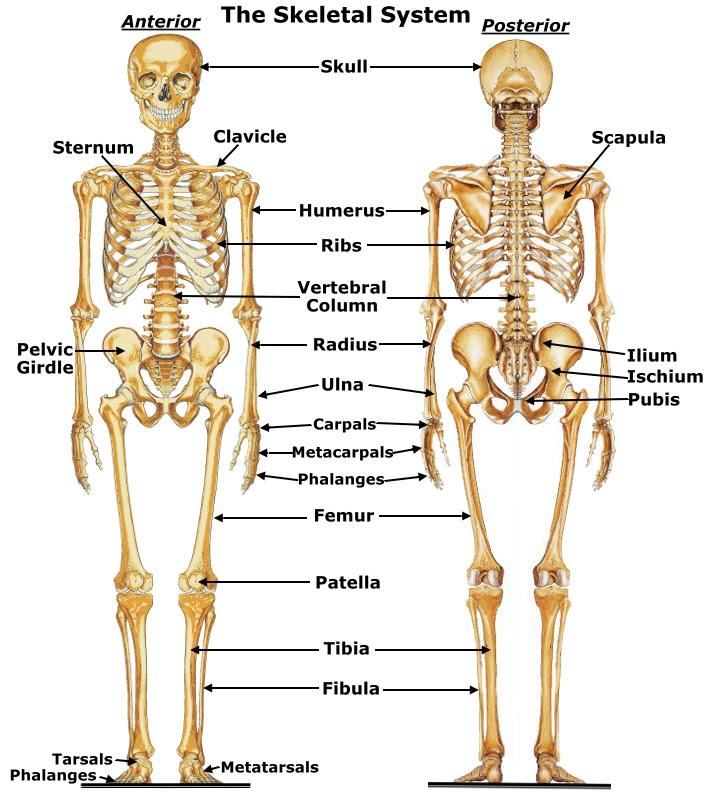 skeletal system by sally su on prezi, Skeleton