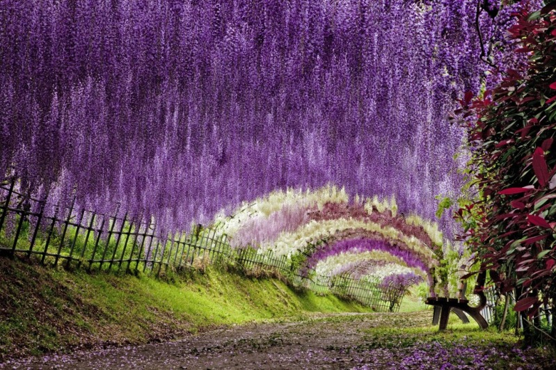 Dream walker wisteria tunnel the romantic colorful place Wisteria flower tunnel path in japan