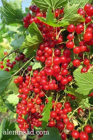 красная смородина, аленин сад, красная смородина