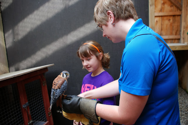 Mountsberg Raptor Centre Raptor Encounter America Kestral
