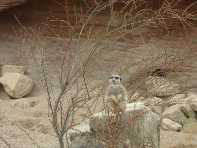 Meerkat on lookout for Hyena's or Zoo Keepers
