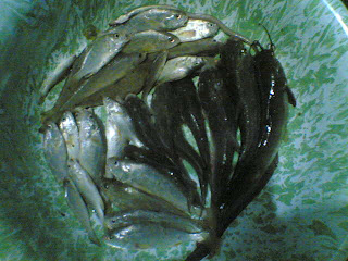 ikan keting