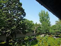 南庭の大きなチャボヒバとキキョウの花
