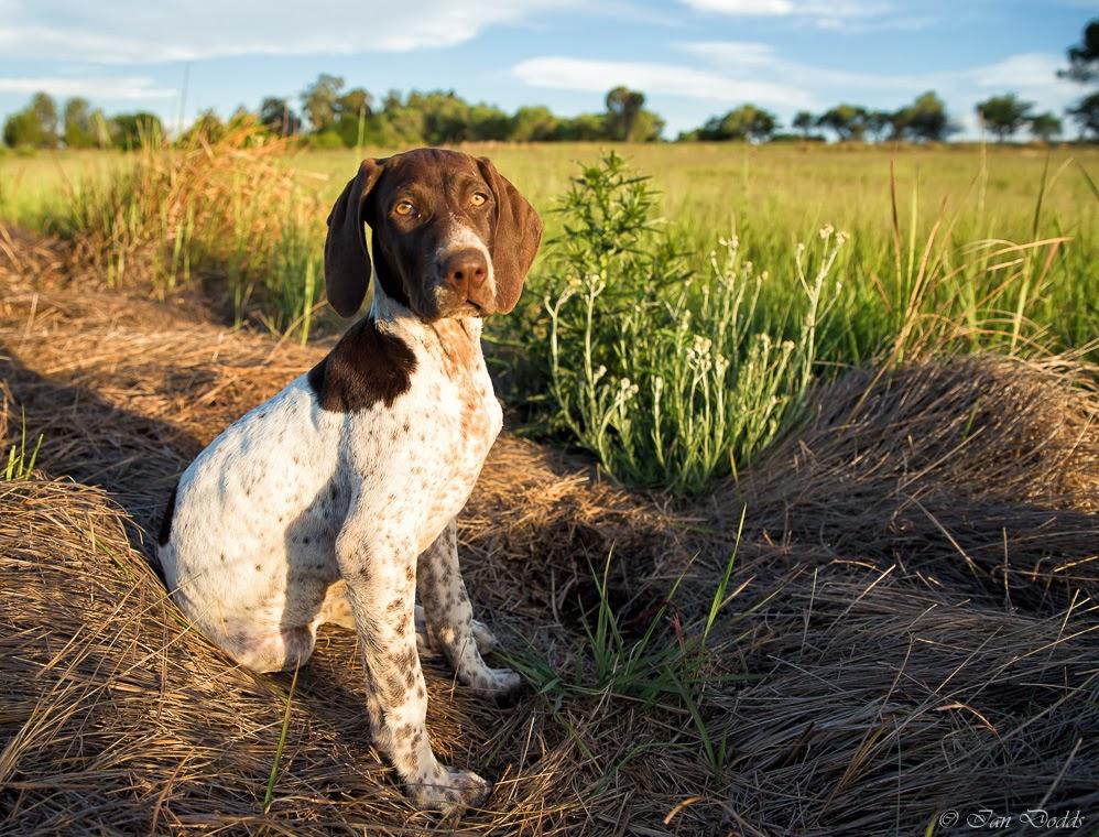 Can I Train A Older Dog Quail