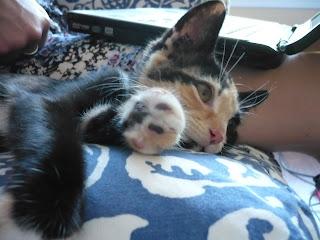 cute tortoiseshell kitten
