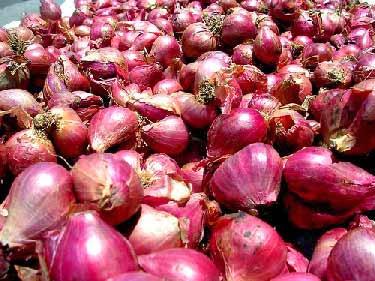 hama dan penyakit pada bawang merah