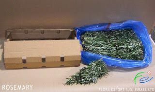 Rosemary wholesaly supply from Israel grower-direct
