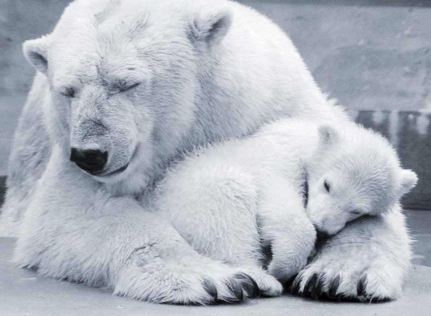 Image result for polar bears pictures