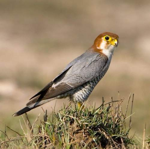 Indian birds - Image of Red-necked falcon - Falco chicquera
