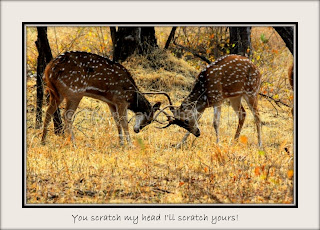 Young Deer stags, Ranthambore, Rajasthan, India
