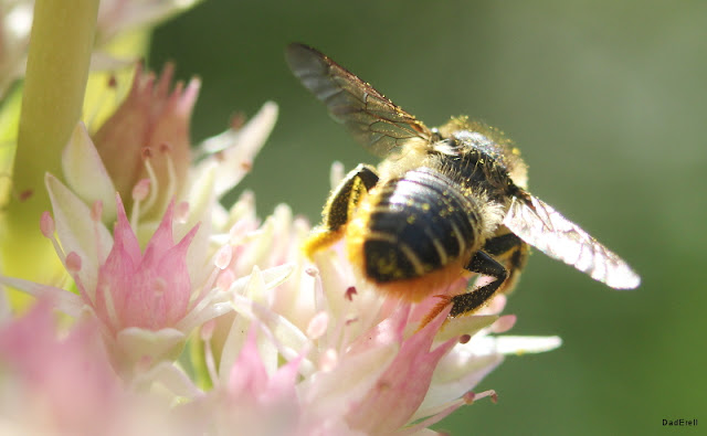 Abeille magachile dans un fleur de kalanchoé