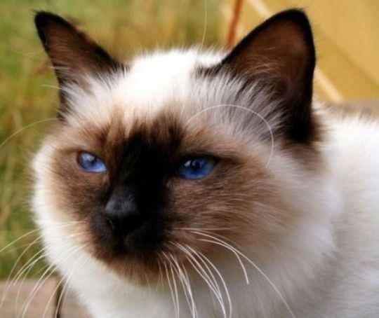 Australian Tiffanie Cat