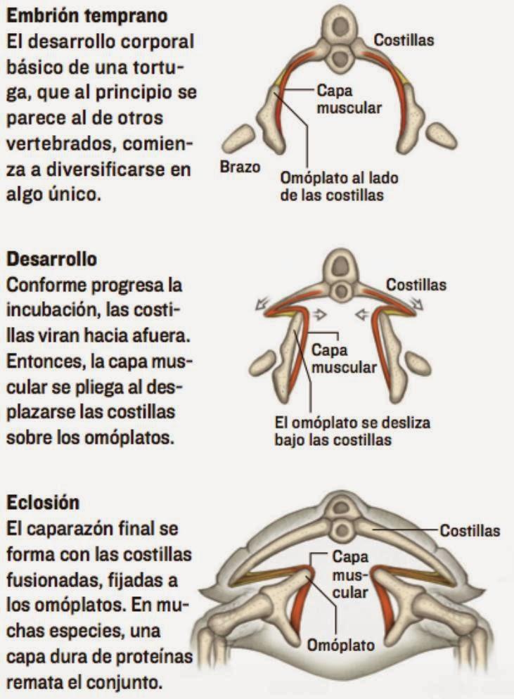 Hermosa Anatomía Externa De Una Tortuga Cresta - Imágenes de ...