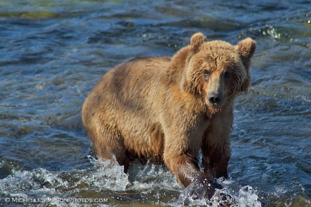 Bear Gaze - Brooks Falls, Katmai, Alaska