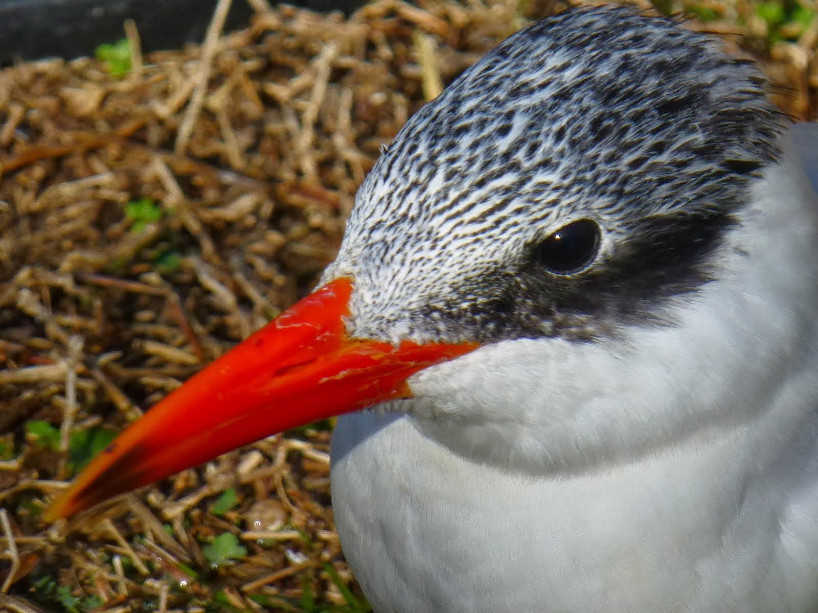 Handsome Caspian Tern