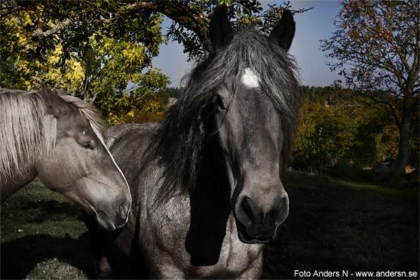 den gamle och hans fru, gammal häst, gamla hästar, old horse, horses, Äskhults by, tsyfpl, foto anders n