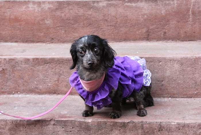 Tallulah, the stylish Schweenie