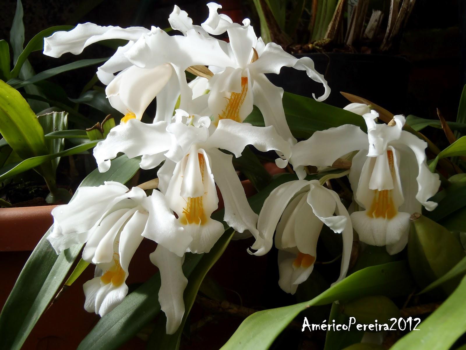 Orquidea Coelogyne Cristata Coelogyne Cristata Apesar de