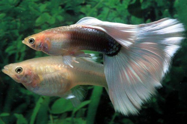Nature lover guppy fish for How long do fish stay pregnant