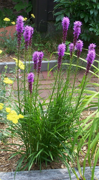 What Grows In My Yard Blazing Stars Liatris Spicata Butterfly