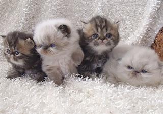 Himalaya persa lindos gatitos
