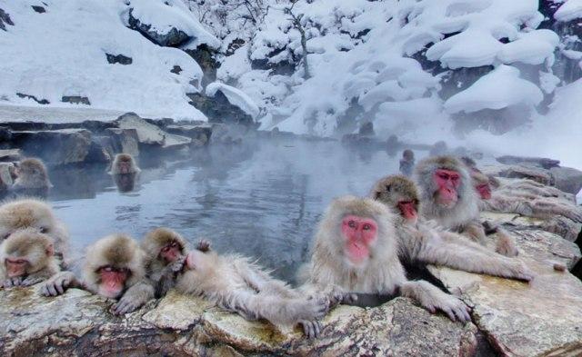 Tempat Wisata Terbaik di Jepang - Jigokudani Monkey park