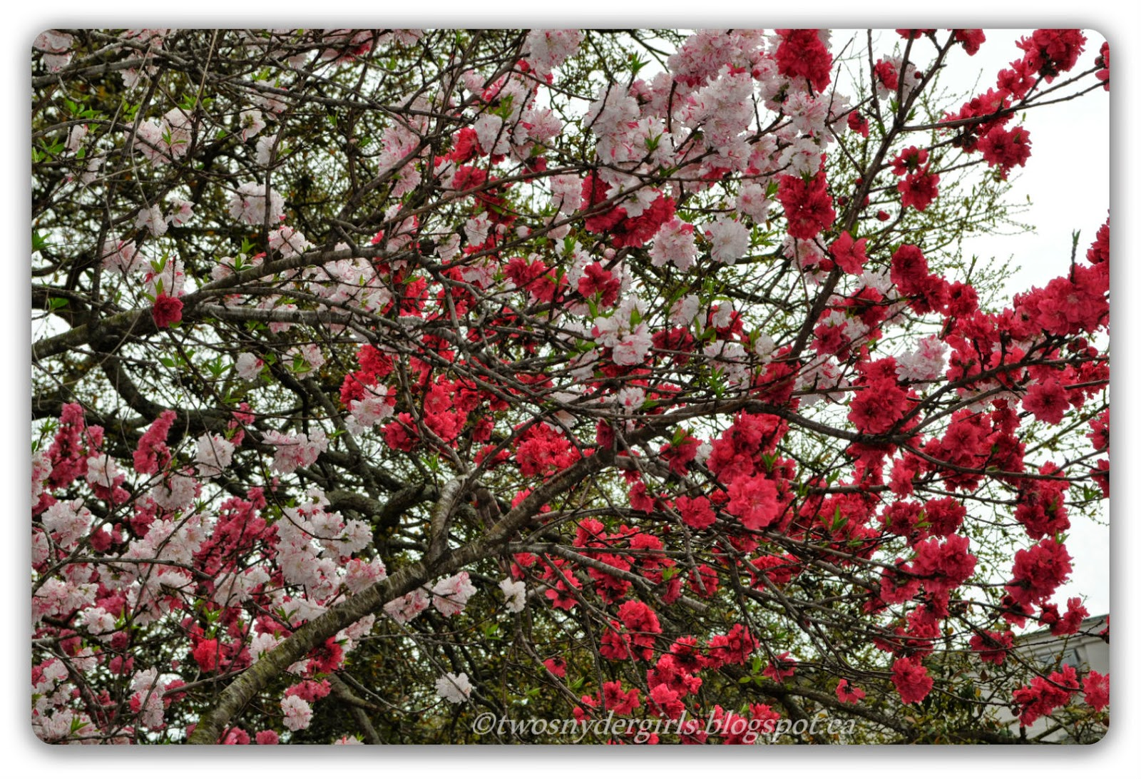 Light pink and dark pink blossoms