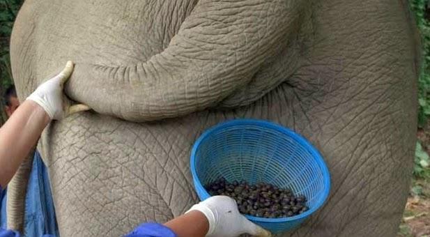 6 Kotoran Binatang yang Dijadikanan Makanan dan Minuman