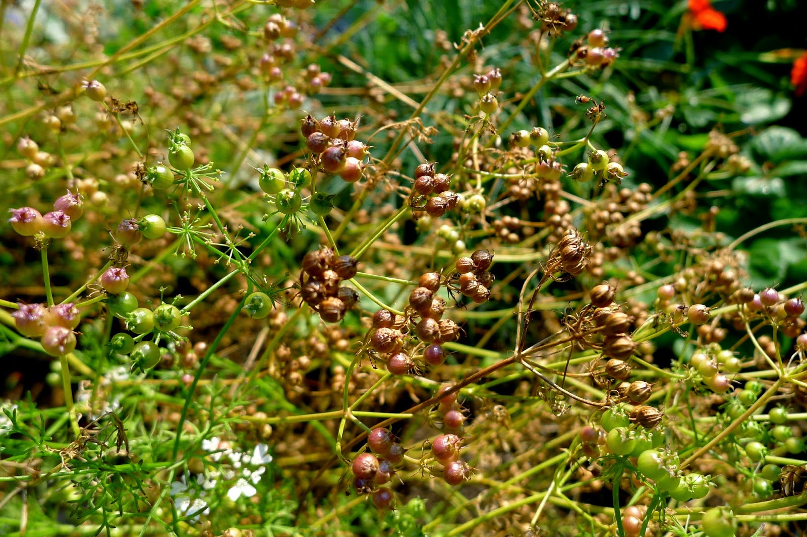 Coriander seeds, harvesting seeds