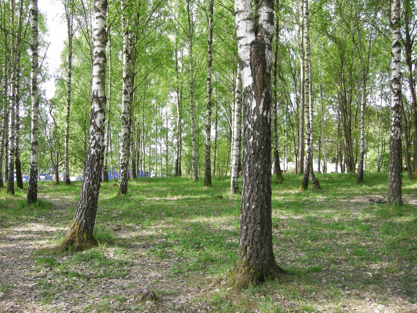 The birch forest [photo: sofia wendel]