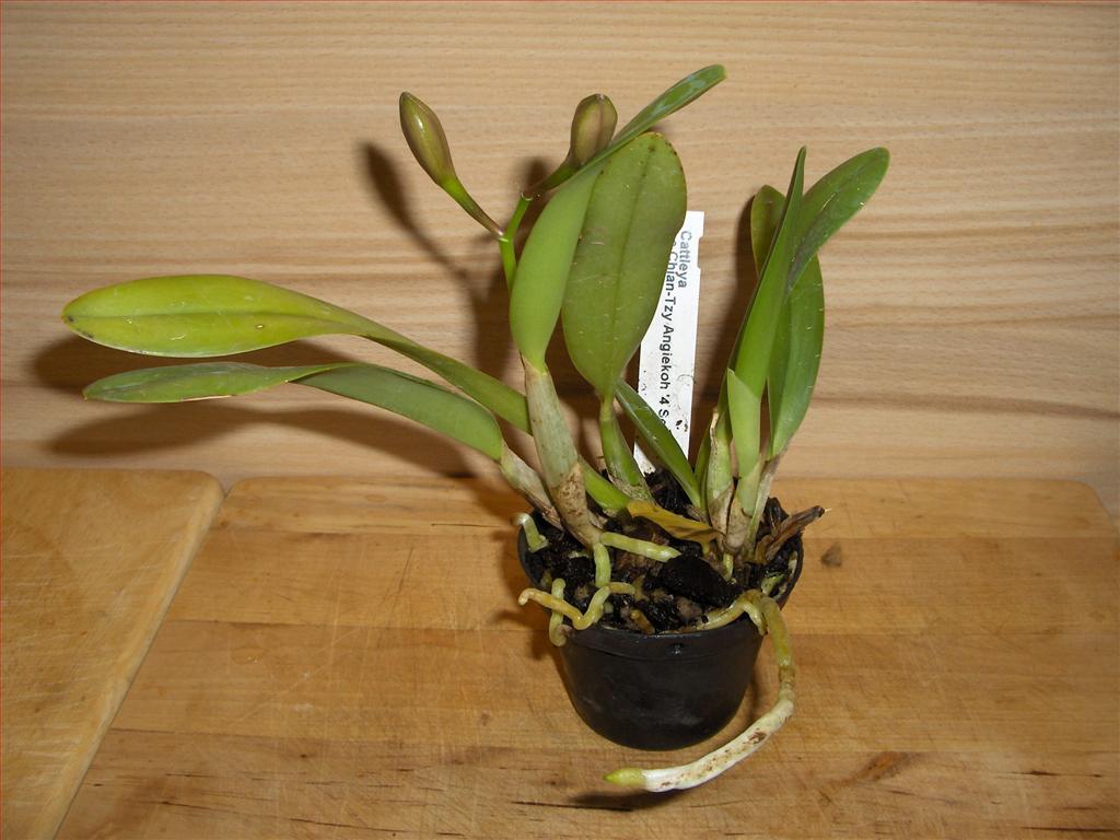 Orchidee in fiore nuova cattleya ad inizio fioritura for Orchidea fioritura