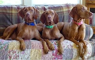 Fun with family/3 Vizslas for 2 weeks!