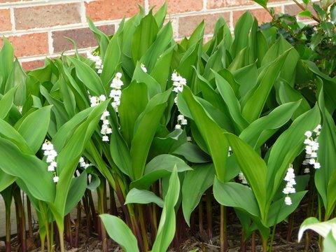 Blog of an ancient gardener deer country 11 spring perennial flowers blog of an ancient gardener mightylinksfo
