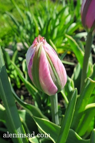 Top Lips, сорта тюльпанов, тюльпан, аленин сад, весенние луковичные