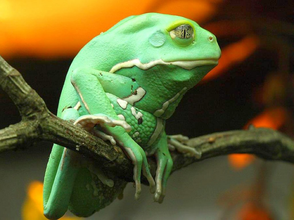 frog wallpapers pets cute and docile