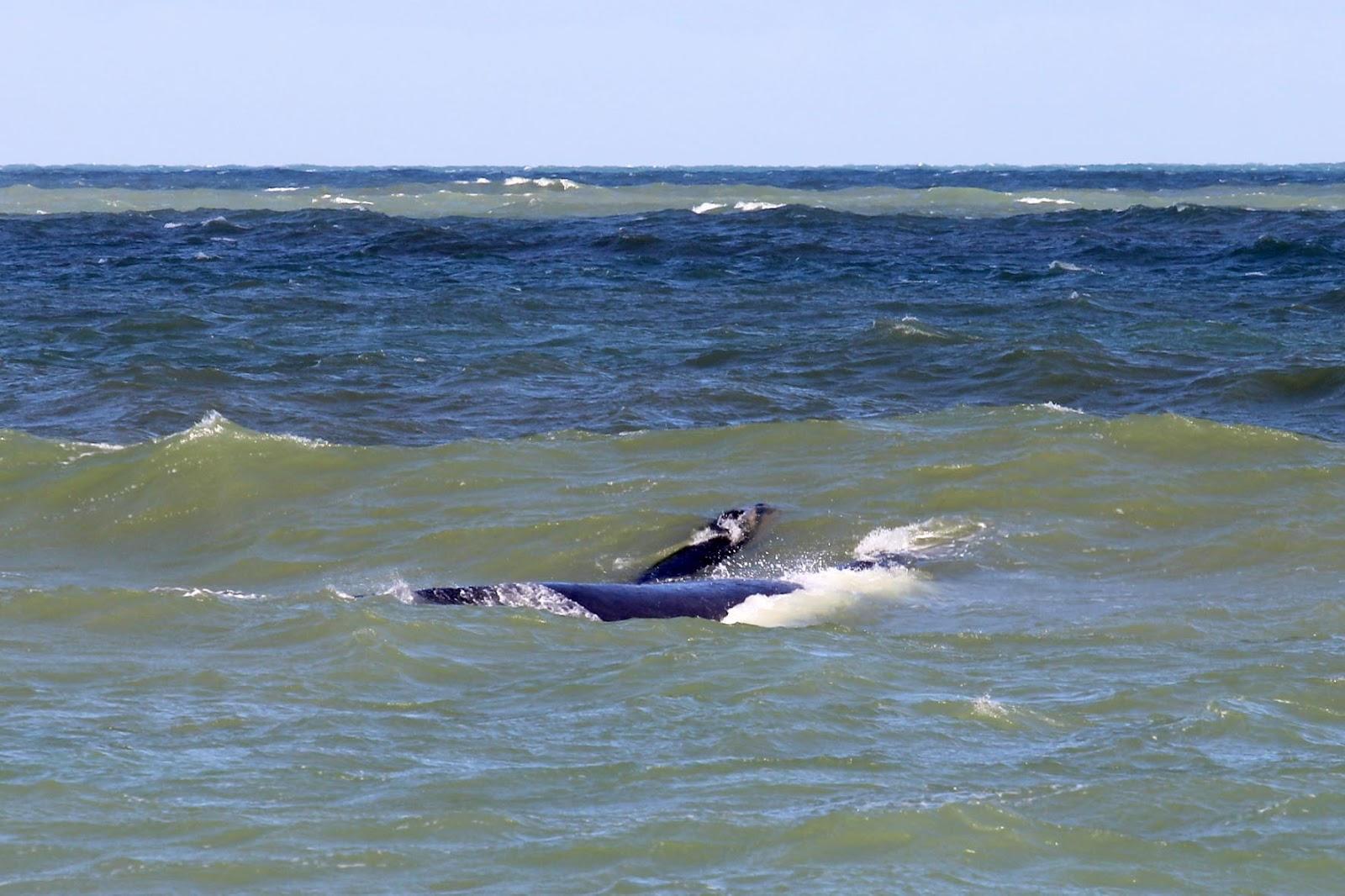 Armario A Medida Barato ~ De Olho em Rio das Ostras RJ Baleia Franca e filhote nadam na Orla de Rio das Ostras nesta