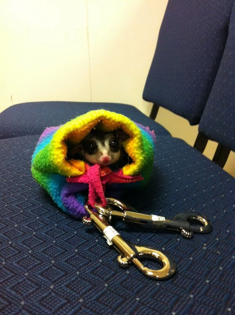 tiny sugar glider, funny animal pictures, animal photos, funny animals