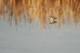 Agachadiza común (Gallinago gallinago) Snipe
