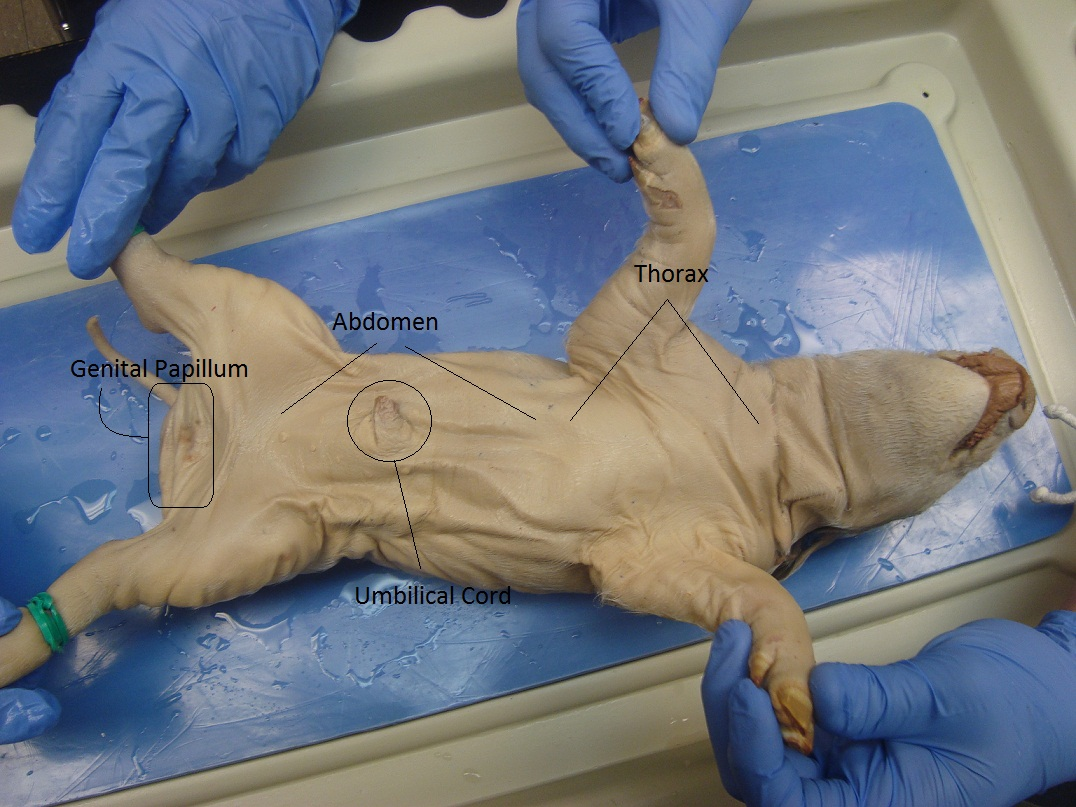 Pig Dissection: Day 1 - External Anatomy