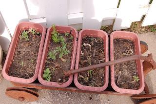 Wagon planter with Summer Splash Marigold Seedlings