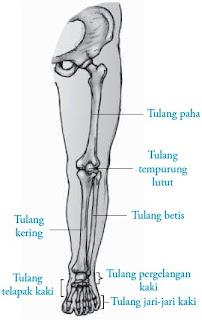 Tulang anggota gerak bawah kanan